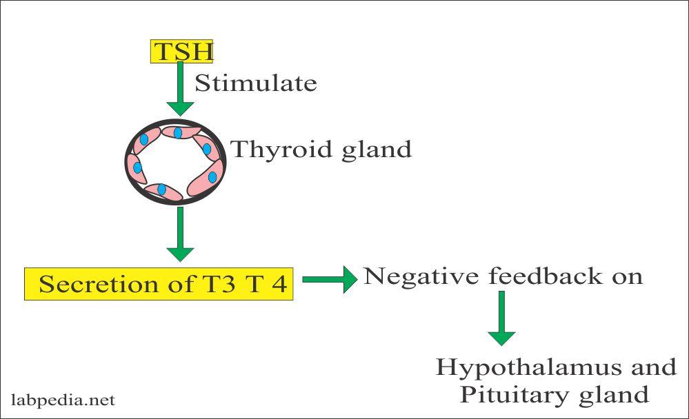 Role of TSH on thyroid glands