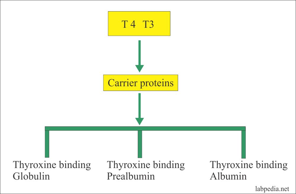 Carrier proteins for T3 and T4