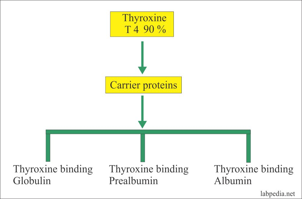 Carrier proteins for thyroxine