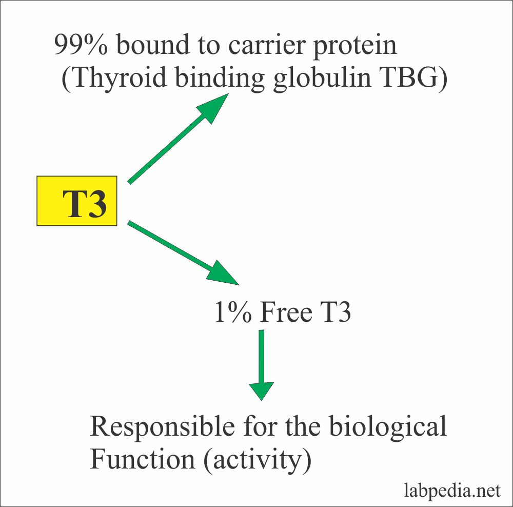 Thyroid – Part 7 – Triiodothyronine Total, T3 Total