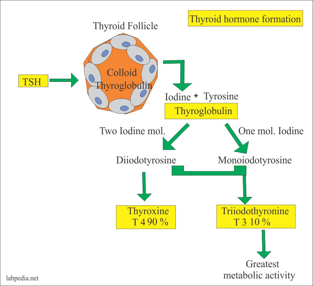 Formation of T3 and T4