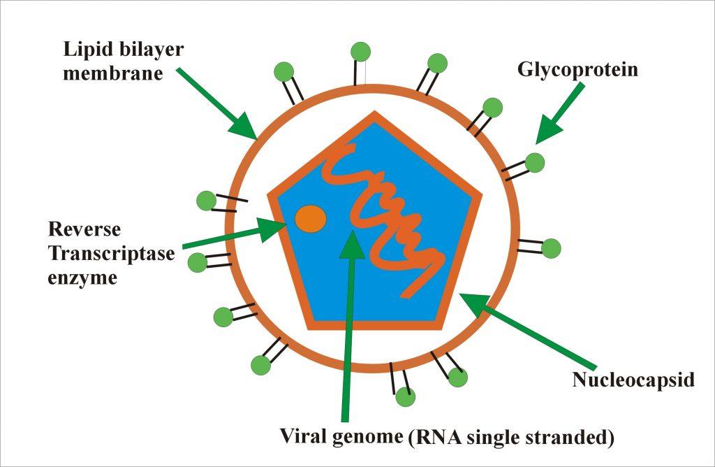 Rubella  virus structure