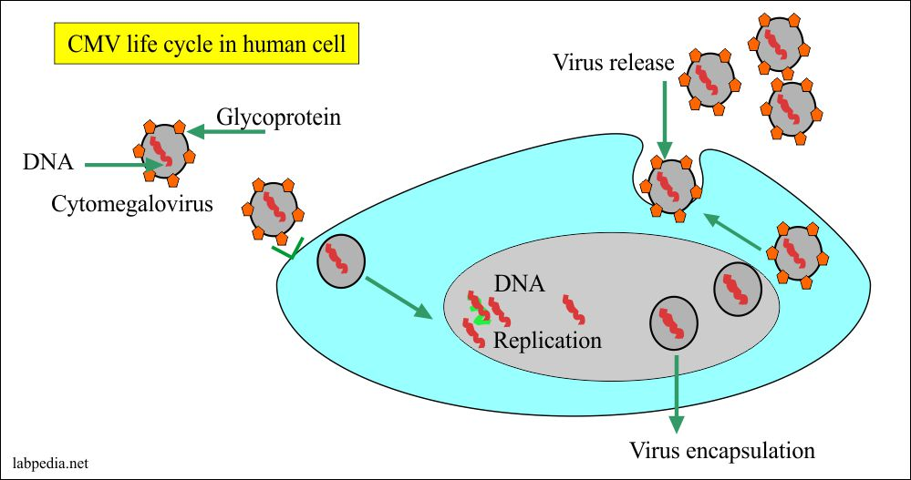 CMV life cycle in the human cells