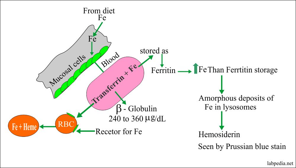 Iron metabolism and absorption
