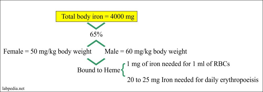 Total iron in the body distribution