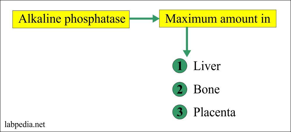 Sources of Alkaline phosphatase