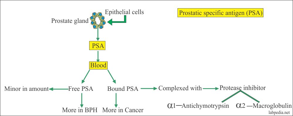 Tumor Marker – Part 3 – Alk.phospatase, CK, LDH, Acid phosphatase, and PSA