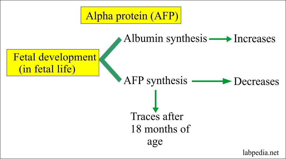 AFP development in the fetal life