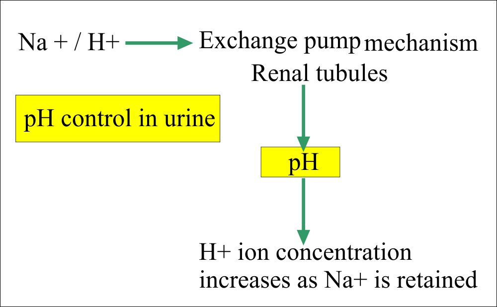 The pH control mechanism in the Urine
