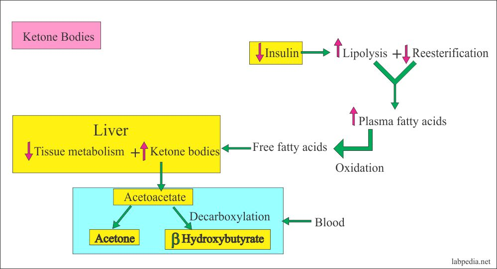 Mechanism of Ketone Bodies formation