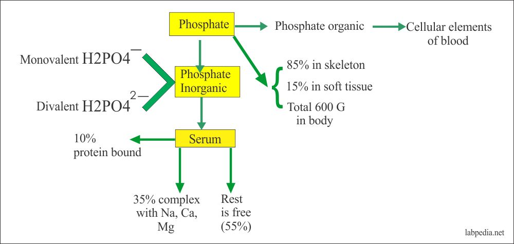 Distribution of the Phosphorus in the body