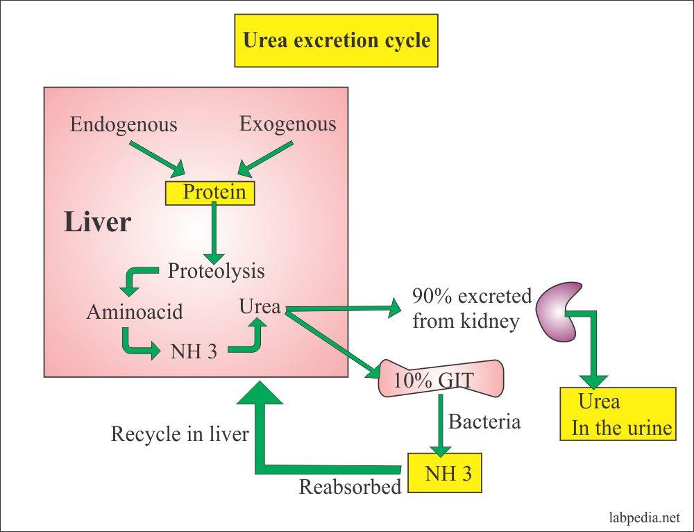 Urine – urea ( 24 hrs Urine Urea) Urine Urea Nitrogen