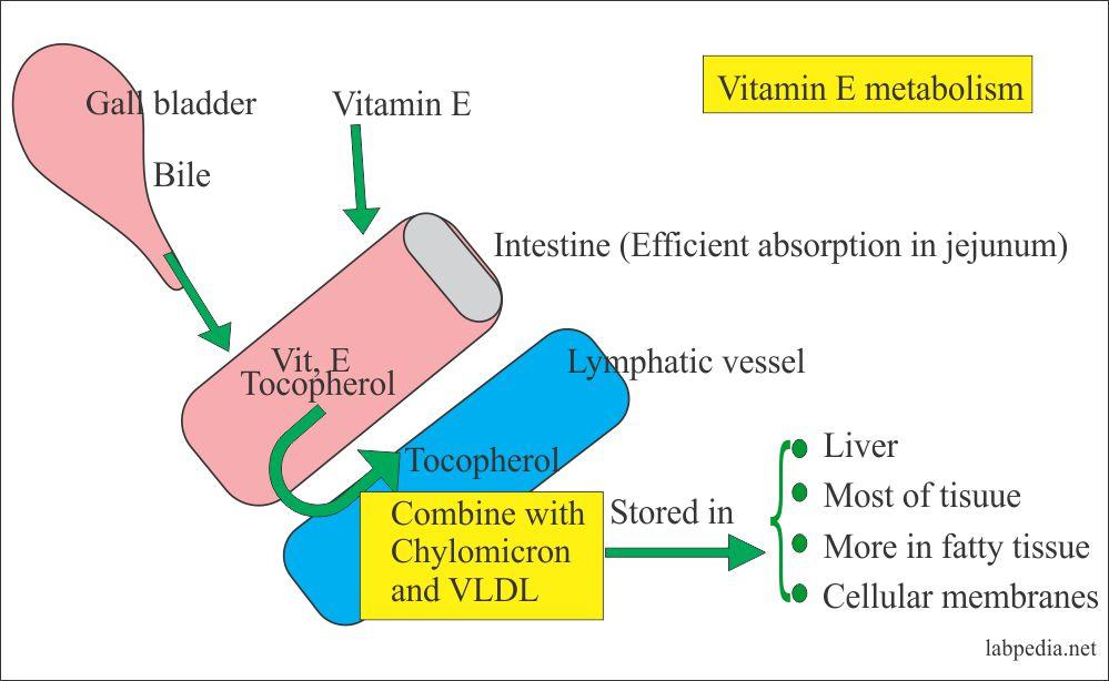 Vitamin E metabolism