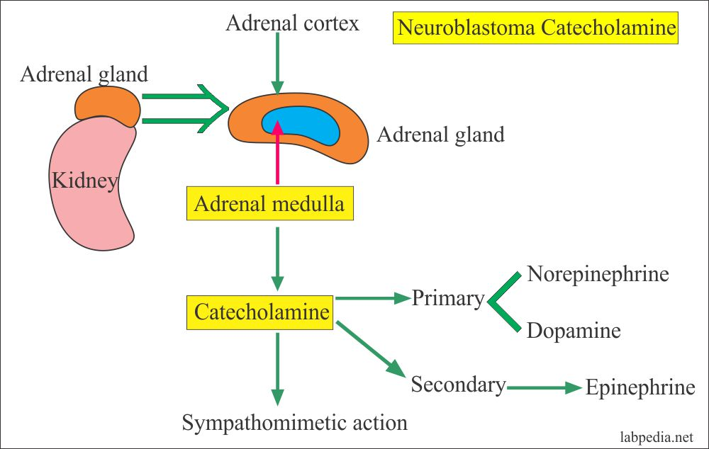 Adrenal gland and Catecholamines