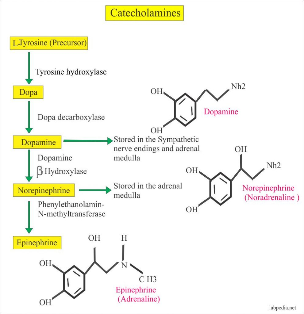 Catecholamines biosynthesis