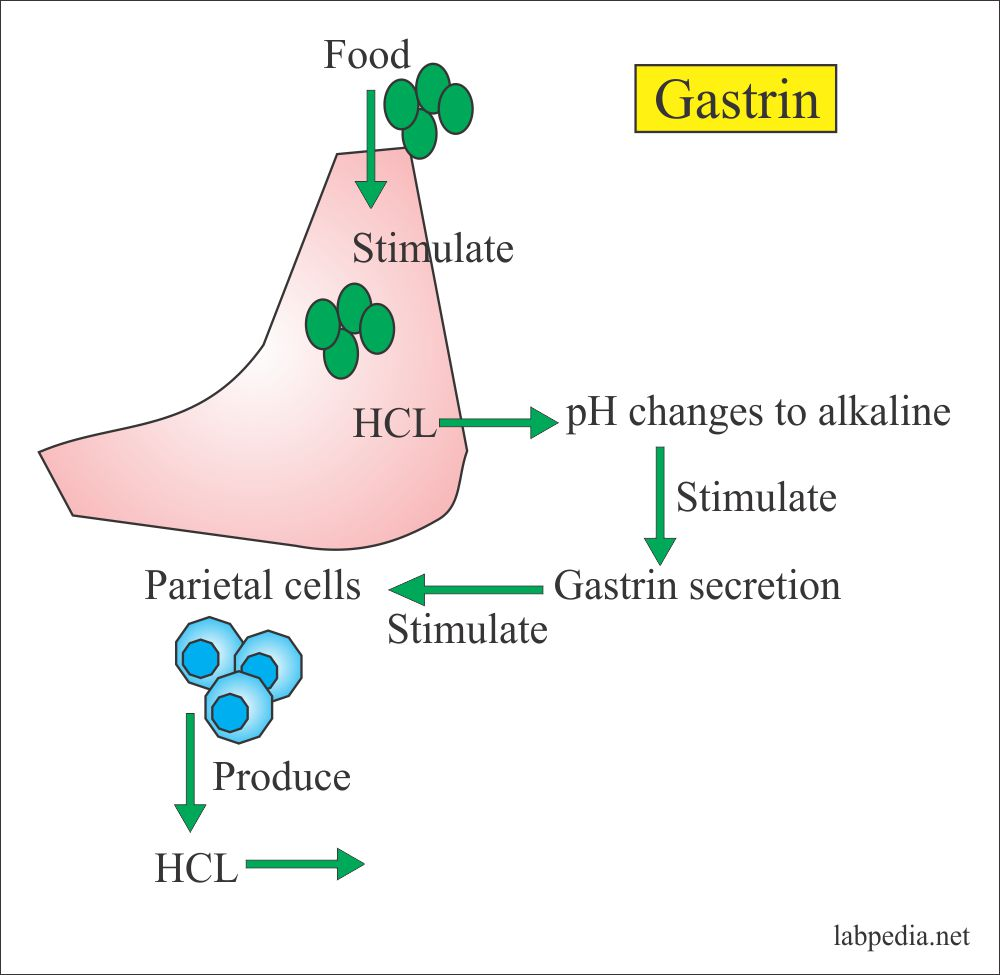 Gastrin effect on Parietal cells