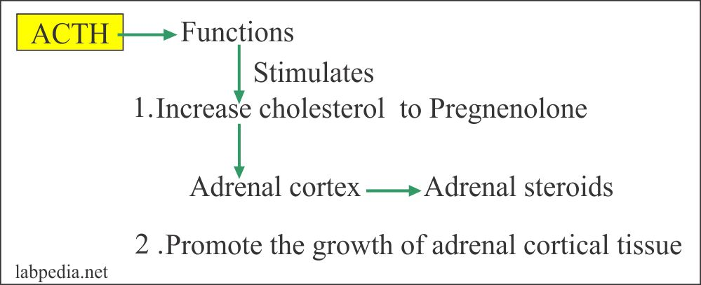 ACTH action on adrenal cortex