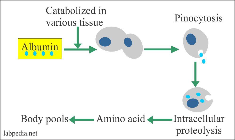 Albumin catabolism