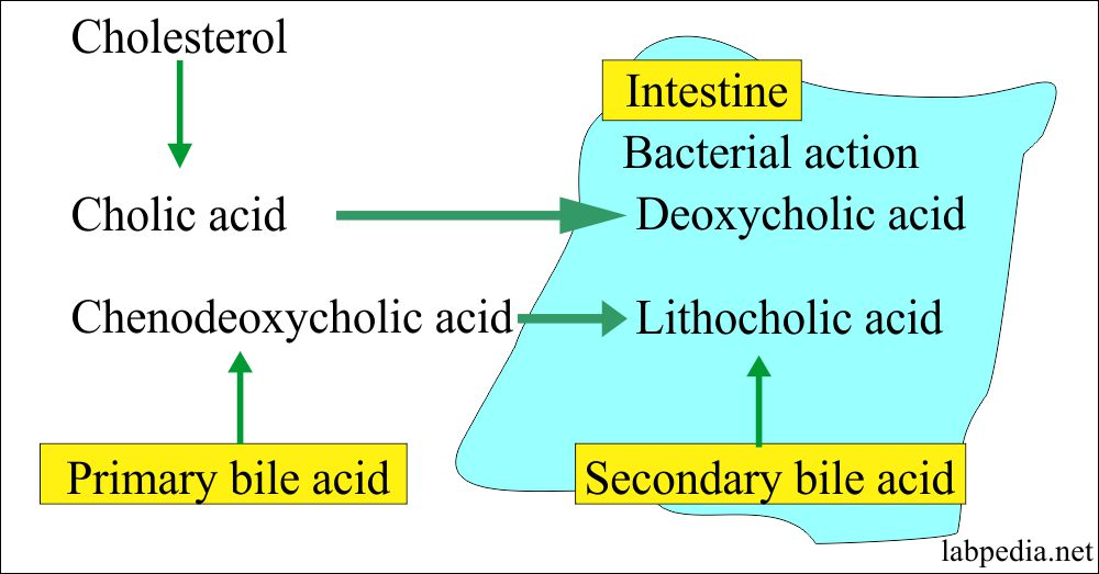 Bile acid formation