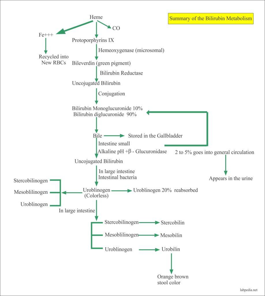 Bilirubin metabolism summary