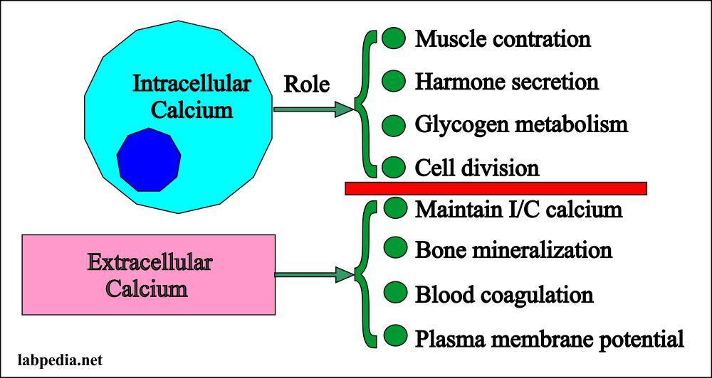 Calcium intracellular and Extracelluar distribution