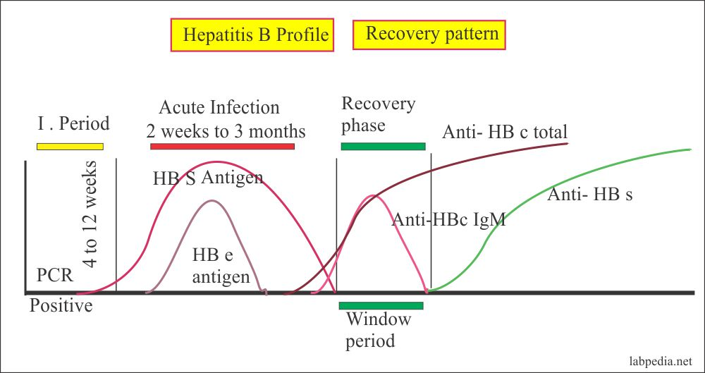 HBV profile in the recovery phase