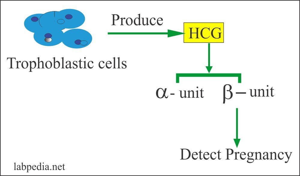 HCG secretion in the urine