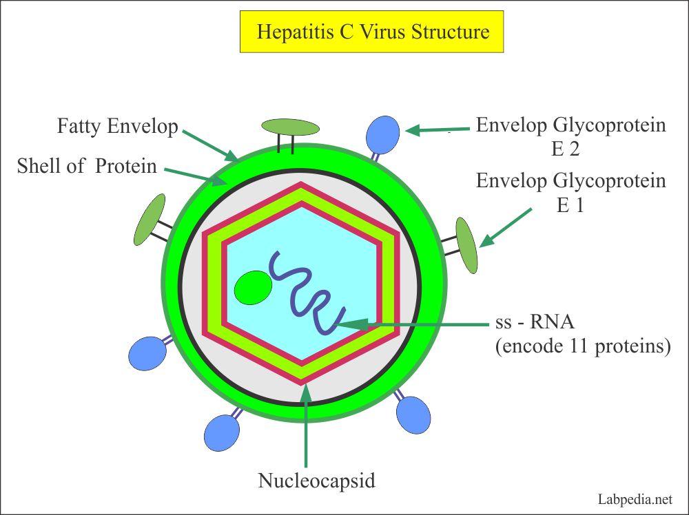 Hepatitis C Virus Structure