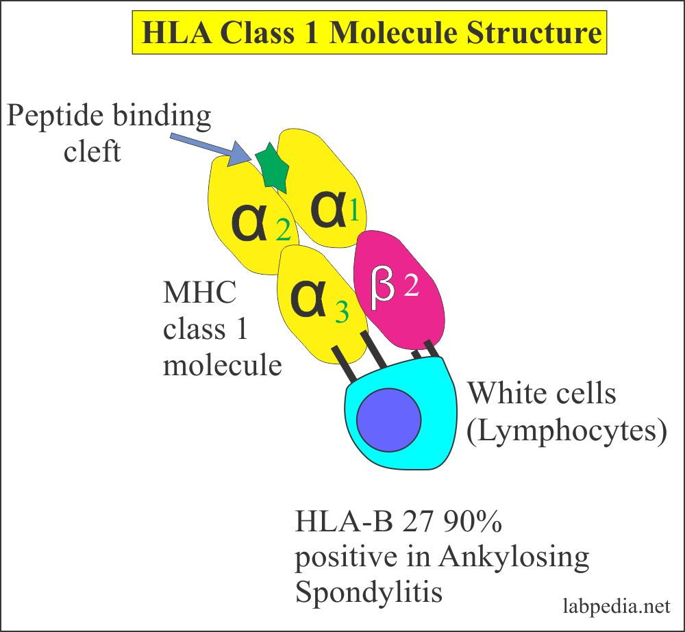 Human Leucocyte Antigen Class 1 molecule Structure