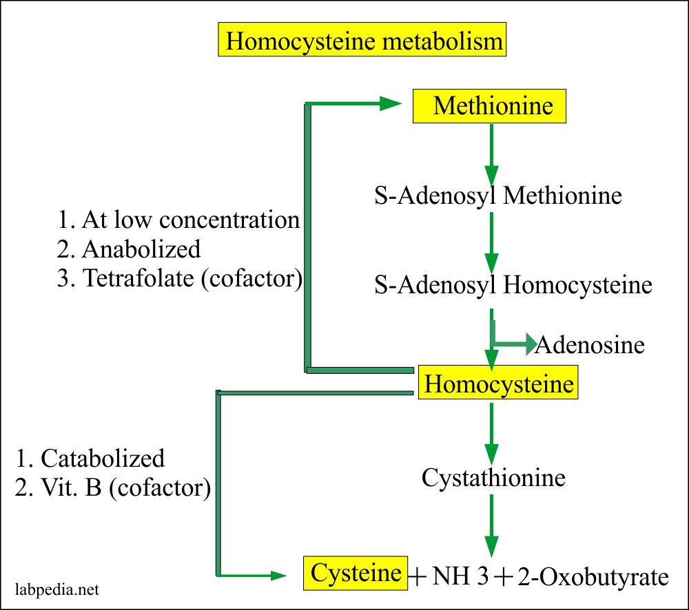 Homocysteine Metabolism
