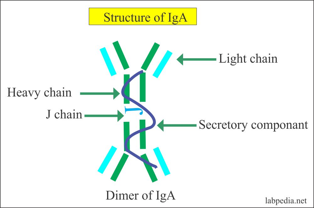 IgA Molecular Structure with J - chain and Secretary component