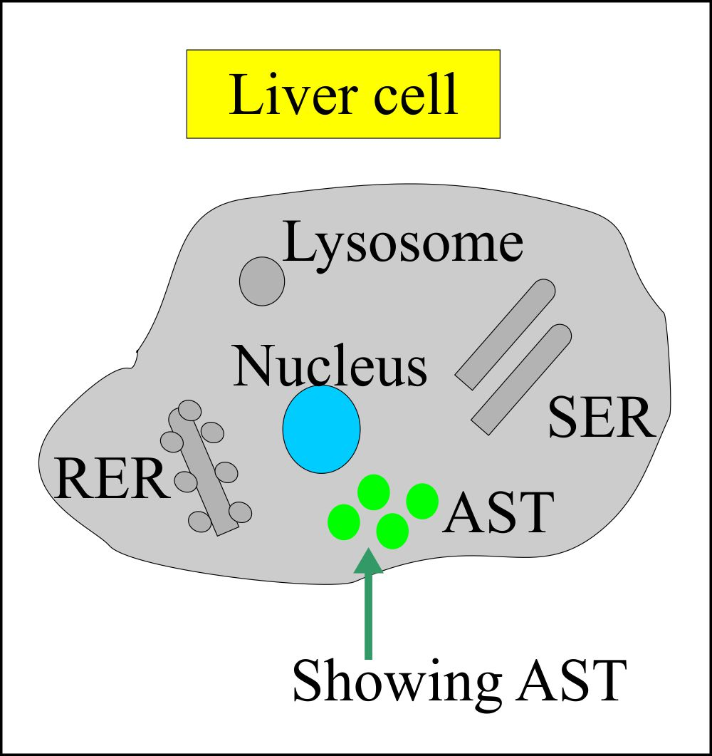 Liver cell showing site of AST