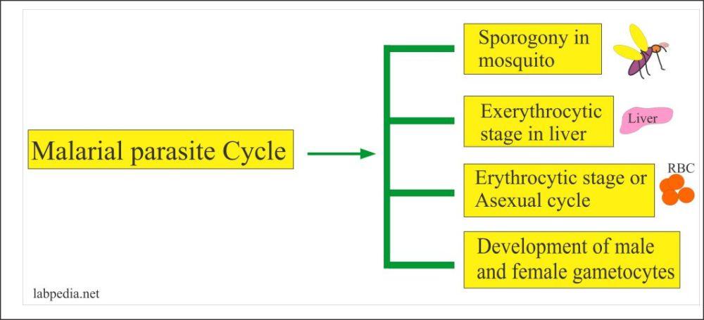 malarial parasite life cycle