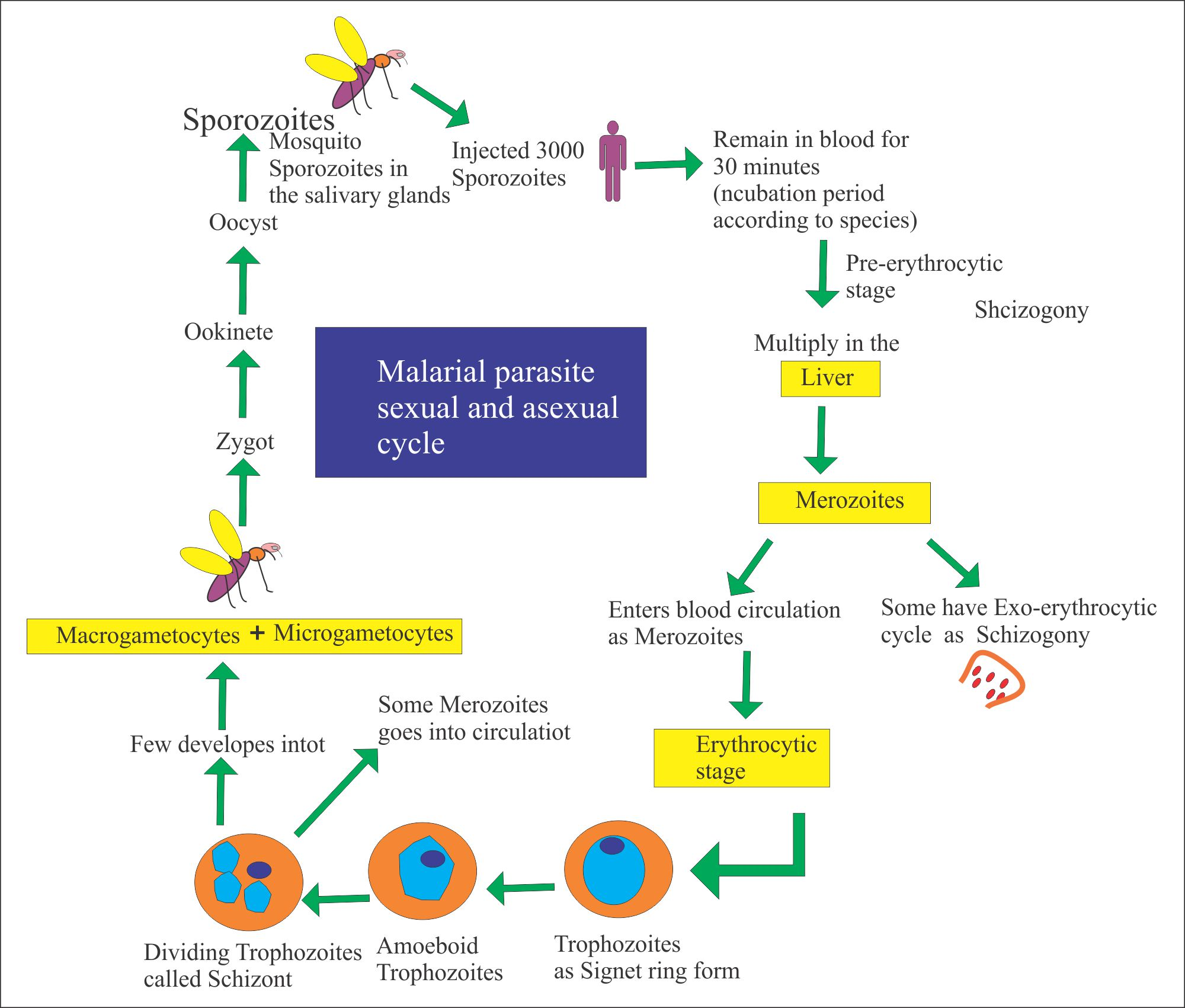 Malarial Parasite sexual and Asexual Cycle