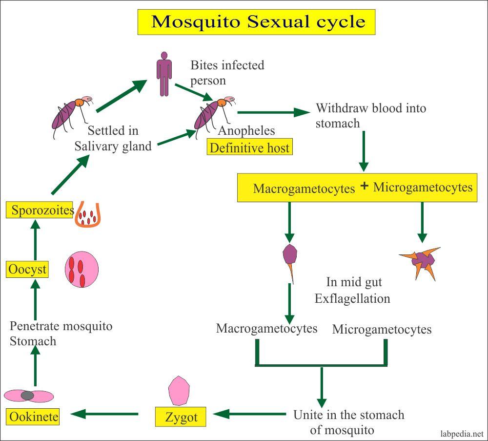 Malarial parasite, mosquito sexcual cycle