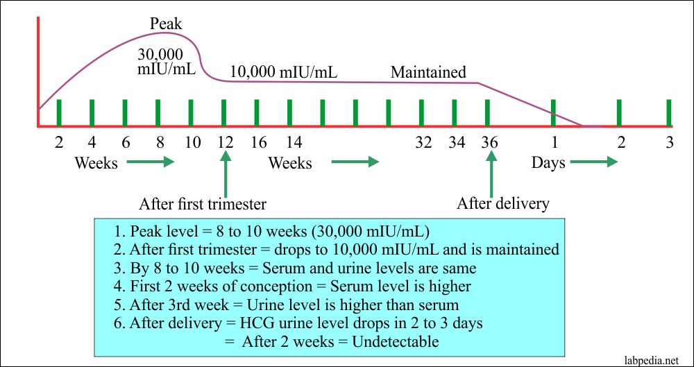 HCG level during Pregnancy in serum and urine