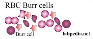 RBC burr cells