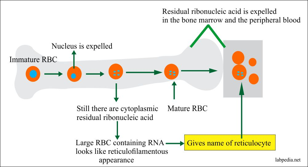 Reticulocyte formation and maturation