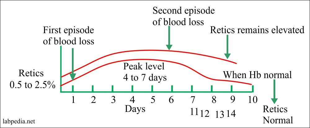 Reticulocyte response to blood loss