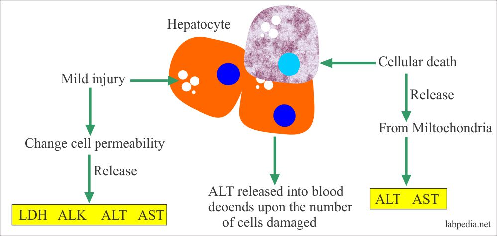 SGPT cell injury and damage