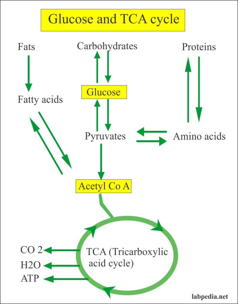 Glucose metabolism and TCA cycle