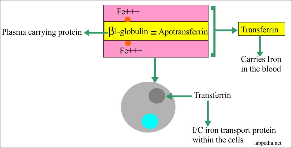 Transferrin Molecule and Its Function