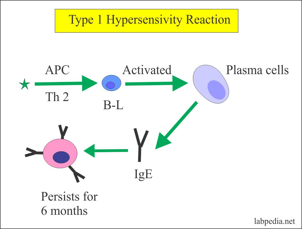 IgE Forms From The Plasma cells and Persists for 6 months