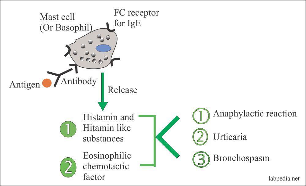 Type 1 Hypersensitivity reaction and mediators