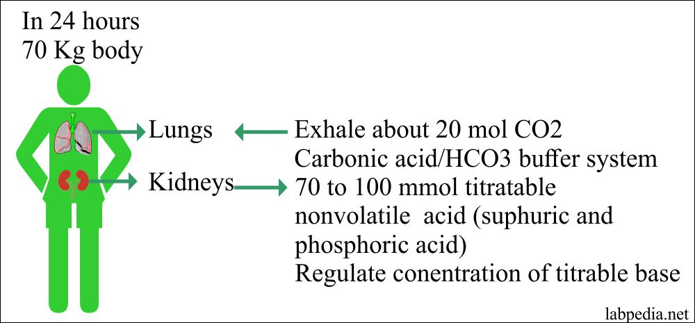 Acid-base role of lung and kidney