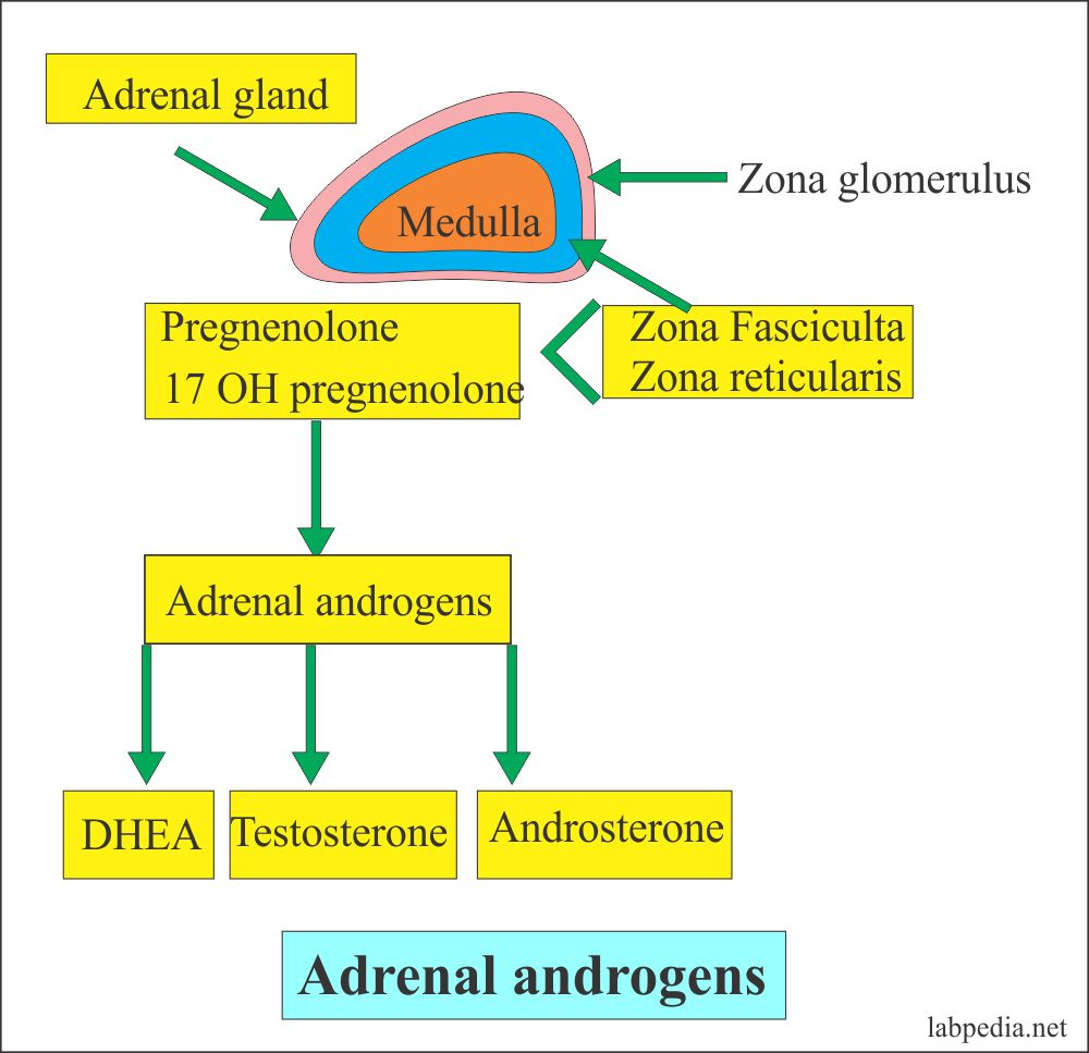 Adrenal gland Androgens