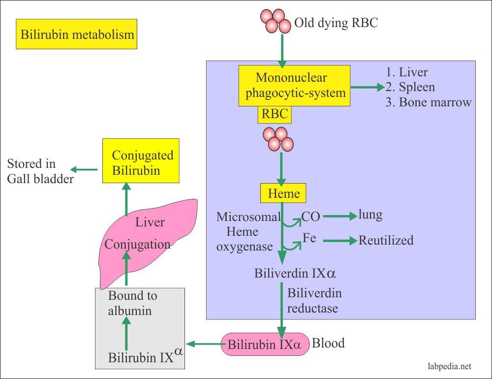 Bilirubin metaboliosm