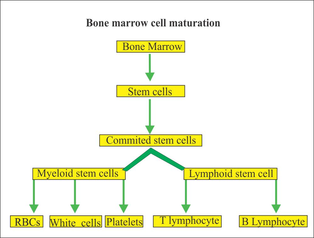 Bone marrow maturation of the cells