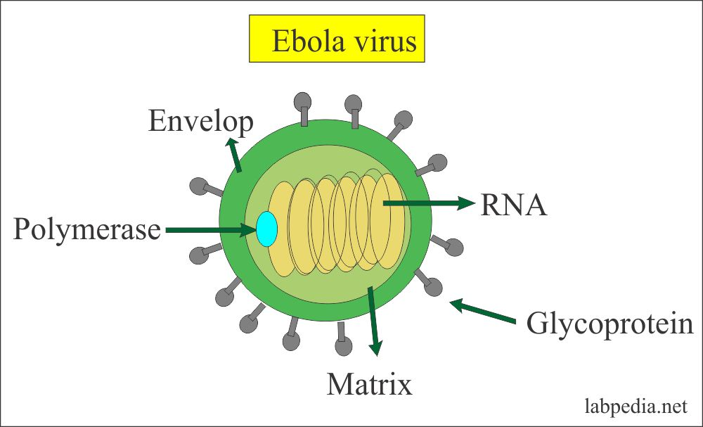 Ebola virus structure