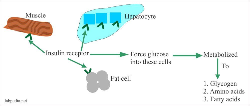 glucose insulin receptor role